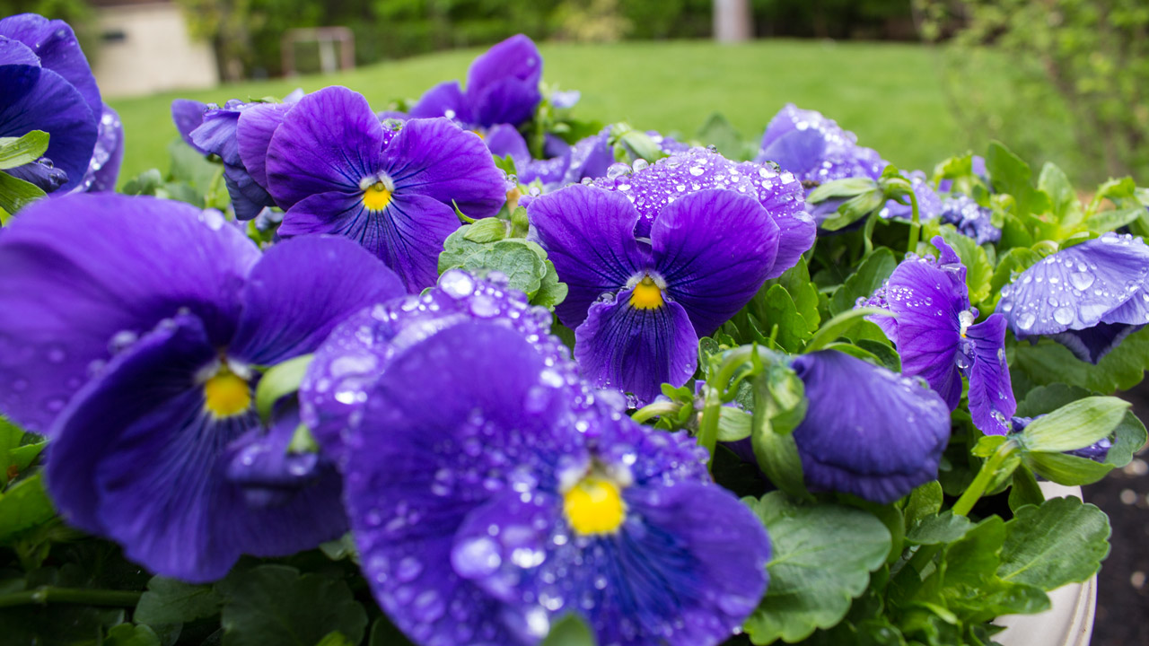 pot-with-pansies-timeless-gardens-ny