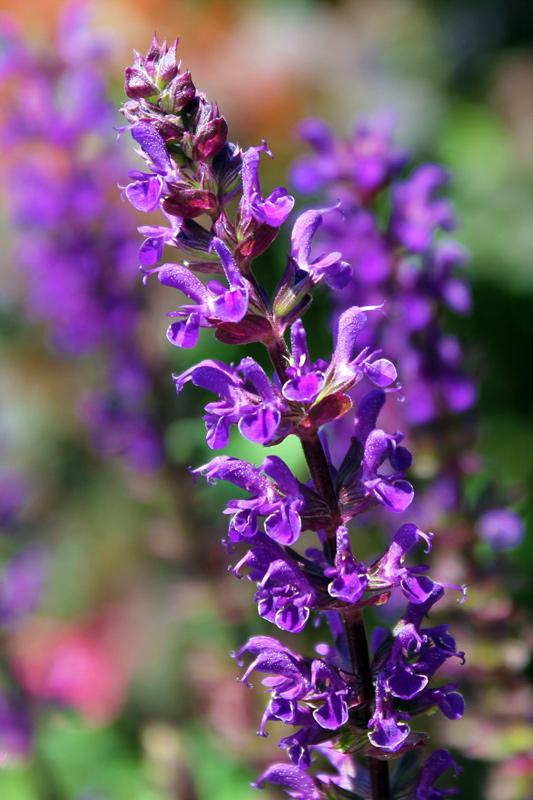 purple-haze-timeless-gardens-ny