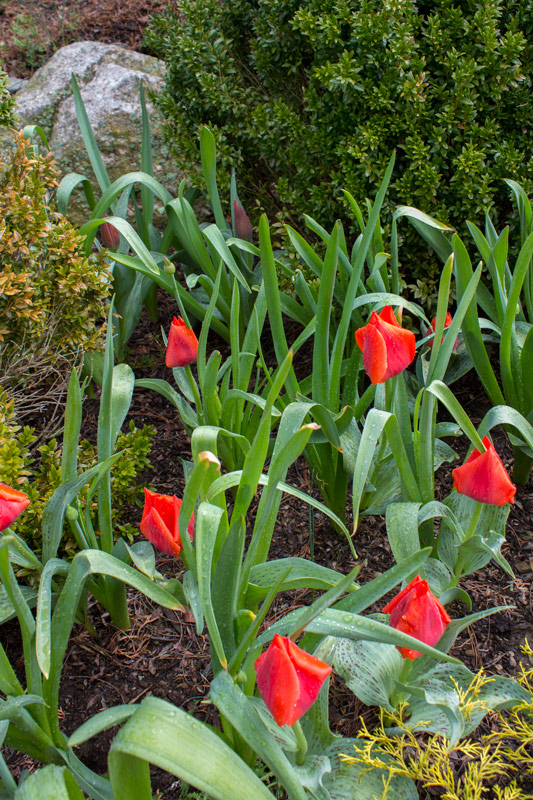 red-tulip-bed-timeless-gardens-ny