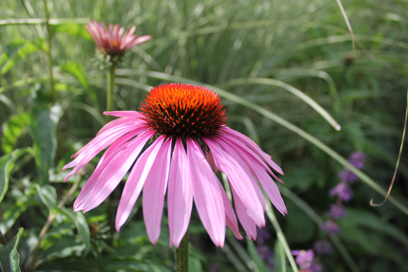 two-pink-cone-flower-timeless-gardens-ny