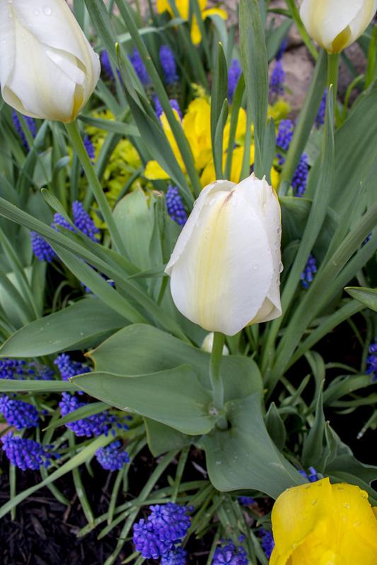 white-tulip-bed-timeless-gardens-ny