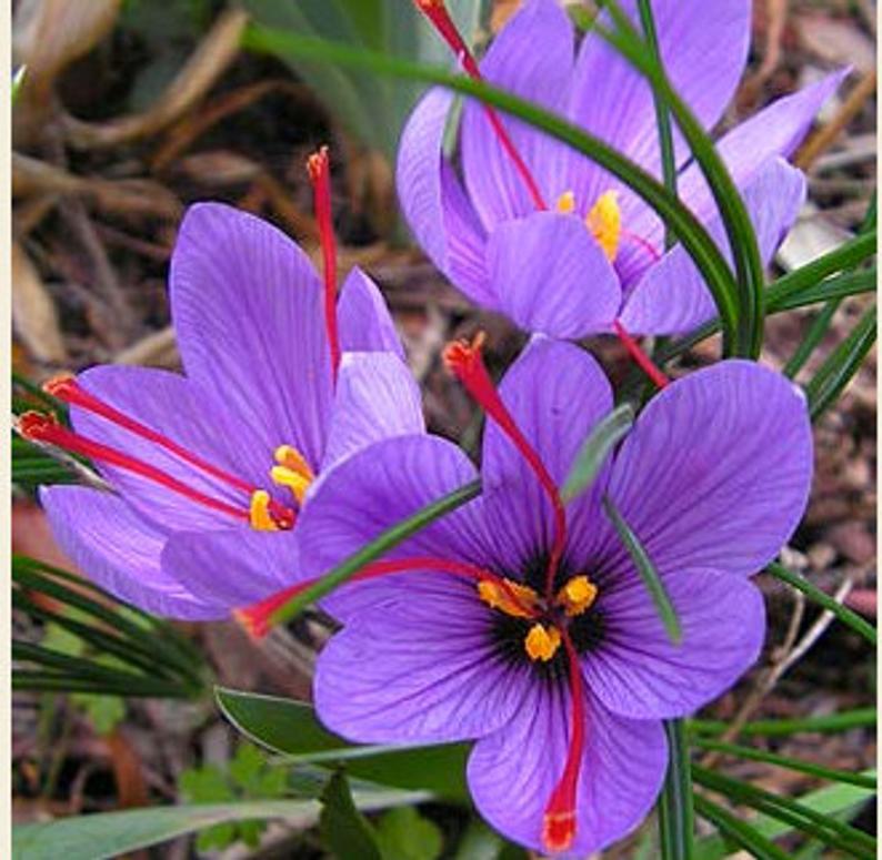 SaffronCrocus