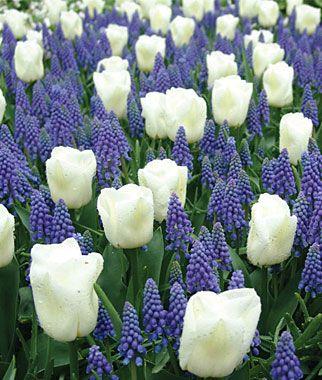 Hyacinths and Tulips